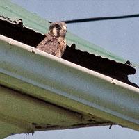 bird nesting in eavestroughing