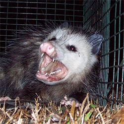 angry opossum ready to takeover your dirty gutters and eavestrough