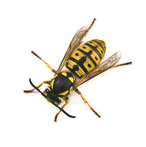 wasp about to build a nest in your dirty eavestrough