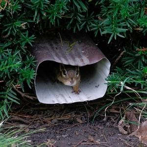 chipmunk living in downspout